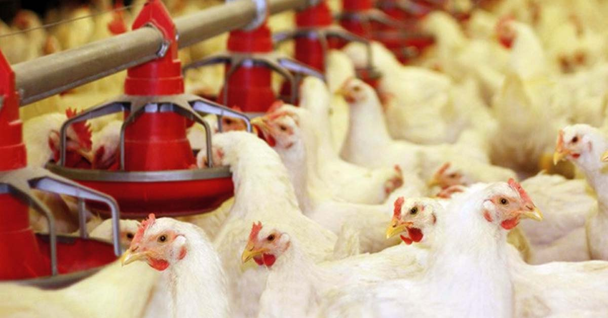 Potential Probiotics May Enhance the Immunity and Growth in the Chicken