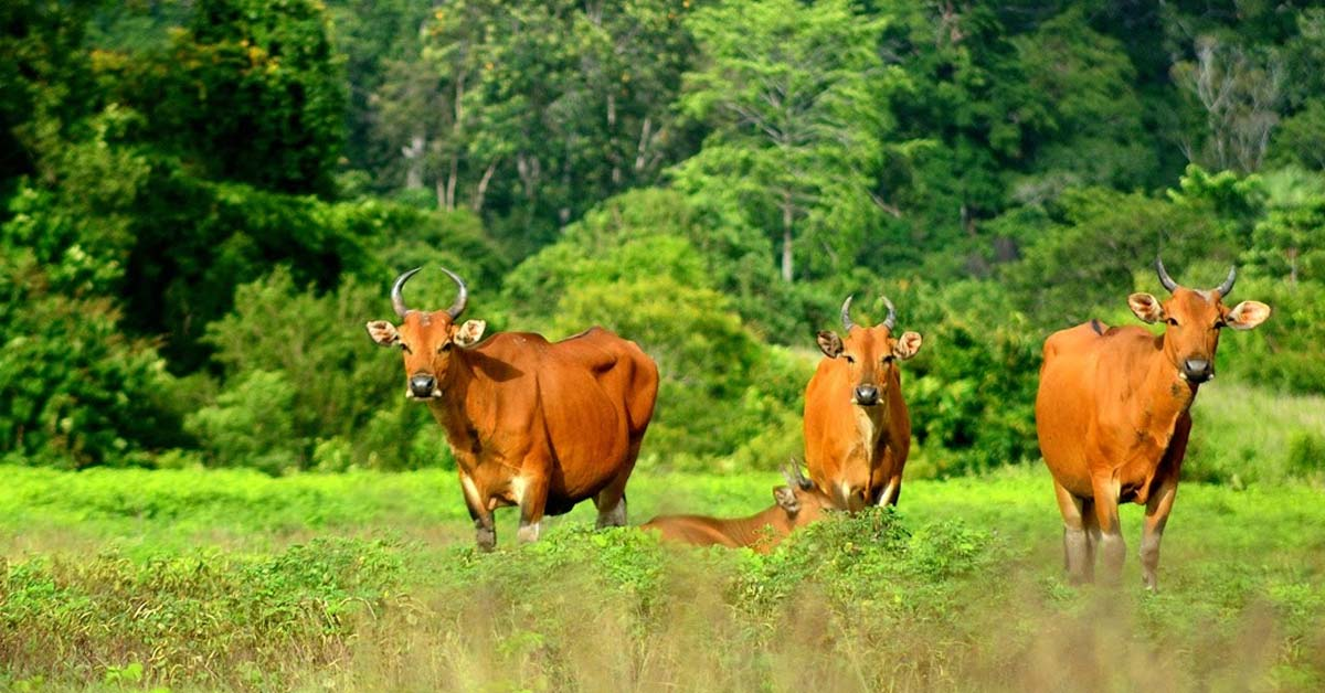 Electrical Stimulation Effects on Indigenous Indonesian Cattle