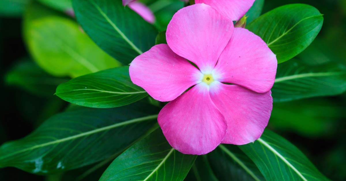 Catharanthine Content of Periwinkle Leaf Induces Polyploidization