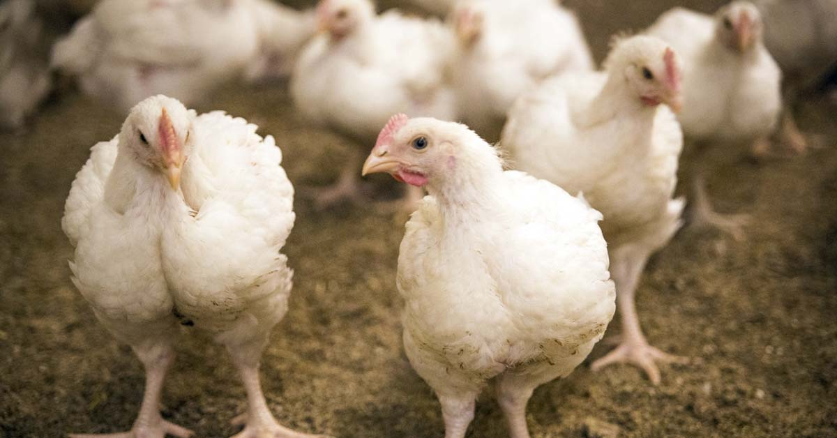 Molecular Characterization is Vital to Identify Suitable Ecotypes for Local Chicken Production